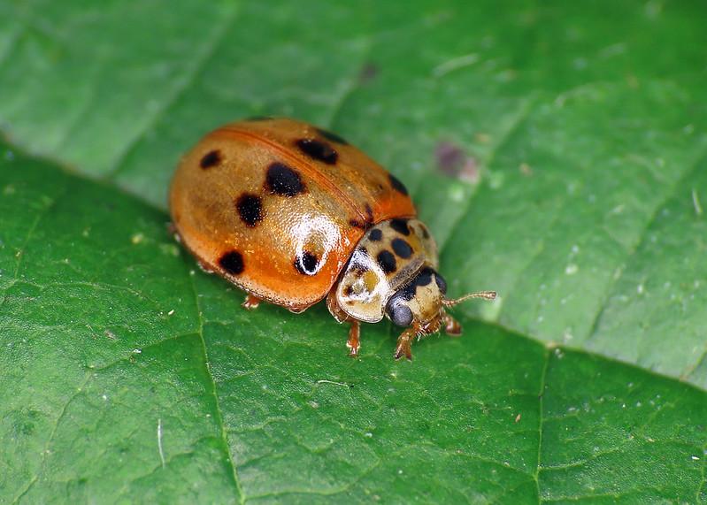 10-spot Ladybird - Adalia decempunctata