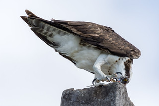 Osprey (Balbuzard)   by miro_mtl