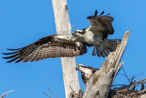 outdoor blue sky nature wildlife 7dm2 ef100400mm canon florida bird bif flight osprey raptor hawk