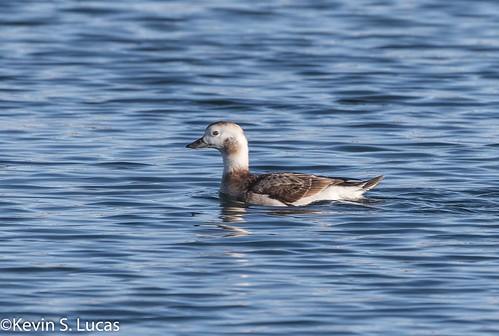 kevinlucas longtailedduck clangulahyemalis yakimacountyrarebird yakimacountywashingtonus freewaypond4 female winterplumage adultfemale duck waterfowl pond ltdu