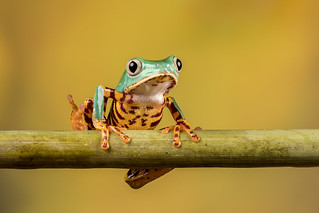 Super Tiger Legged Waxy Monkey Frog | by Linda Martin Photography