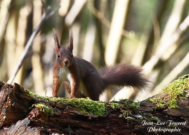 Écureuil roux (  Sciurus vulgaris )