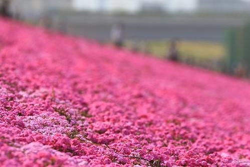 芝桜   by kimuchi583