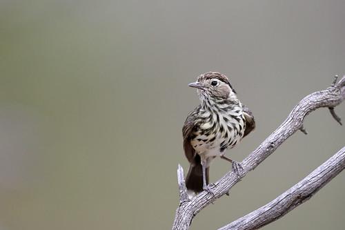 Speckled Warbler (Pyrrholaemus sagittatus)