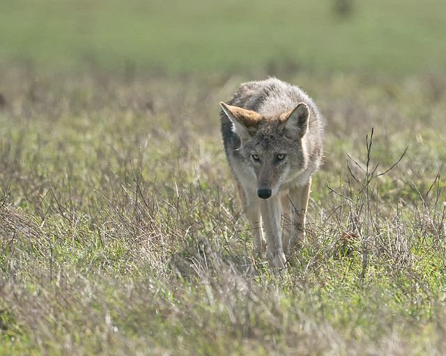 Coyote #136