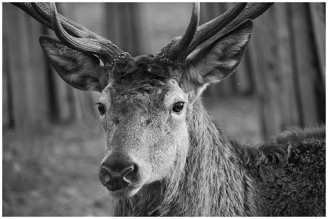 Red Deer (monochrome)