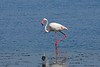 Greater Flamingo, Santa Luzia, Algarve, Portugal by Terathopius