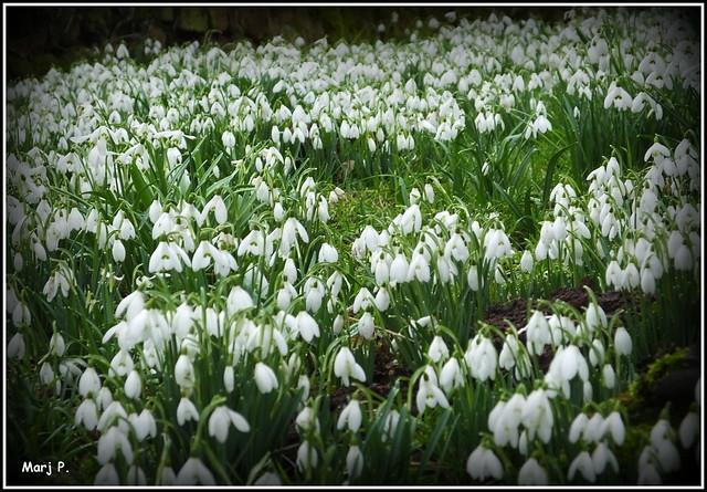 Carpet of Snowdrops.