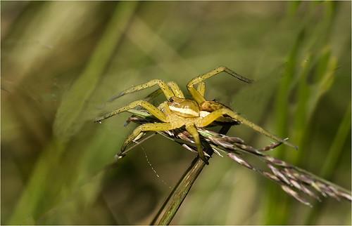 Swamp Spider Dolomedes 2