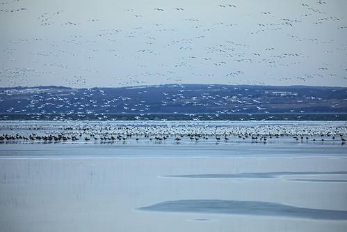 life snow geese migraiton snowgeese flock flocking lake ice skaneateles spring springtime migrations beautiful wild wildlife flx fingerlakes canon 2019