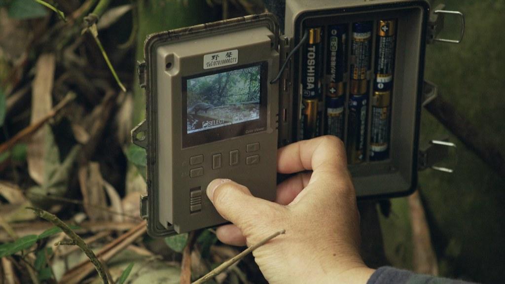 石虎晝伏夜出,行蹤隱密,加上保護色高,一般在野外難以目擊,要靠自動相機才能紀錄牠們。