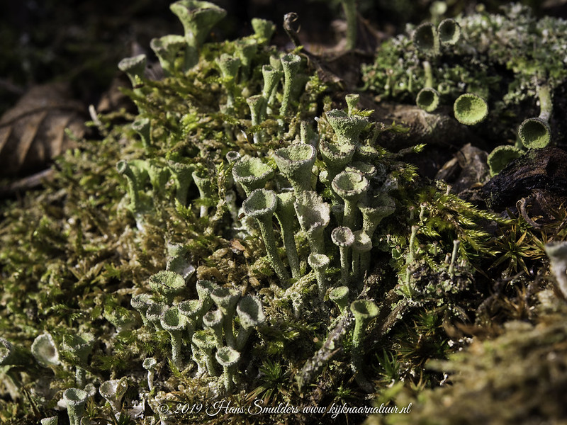 Kopjesbekermos (Cladonia Fimbriata)-819_0362