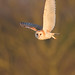 Barn Owl in the trees.
