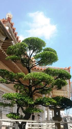 Baum im Tempel von Naha auf Okinawa