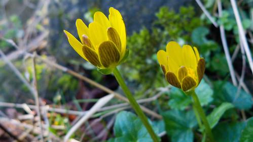Lesser celandines, late February