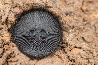 Cork-lid trapdoor spider (Cyclocosmia sp.) - DSC_0990   by nickybay