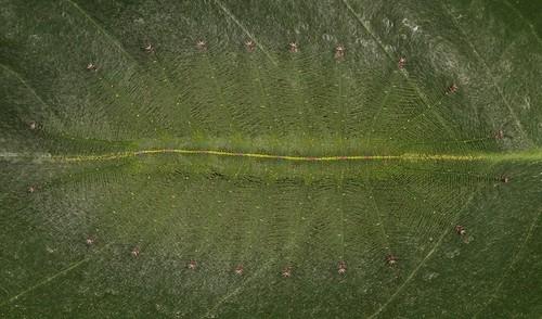Nymphalid Butterfly Caterpillar (Euthalia sp., Limenitidinae, Nymphalidae)