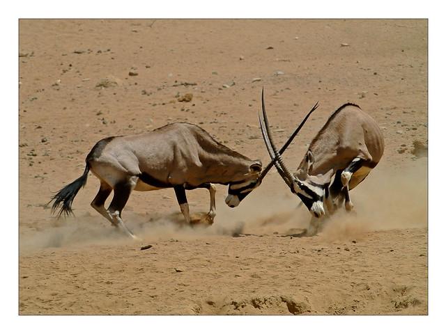 oryx action