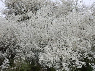 More white bushes