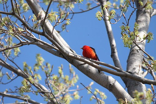 Peptbo Scarlet Tanager IMG_7420 | by teejayfromthefield