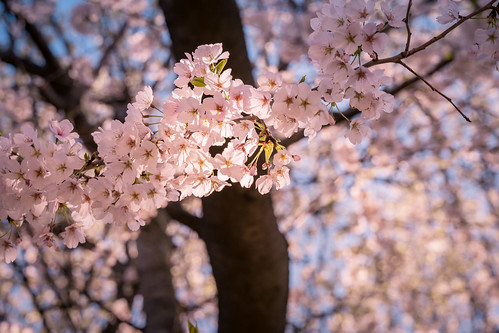 More Blossoms on Capitol Hill   by John Brighenti