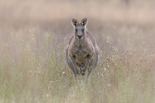 cascadeterrace craigeburn kangaroo roo hopping easterngreykangaroo macropusgiganteus marsupial australianwildlife wildlife animal australiananimal nikond500 nikon200500