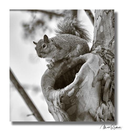 squirrel monochrome bw buschgreenway stcharlescounty weldonspring missouri nikon d850 600mmnikkor