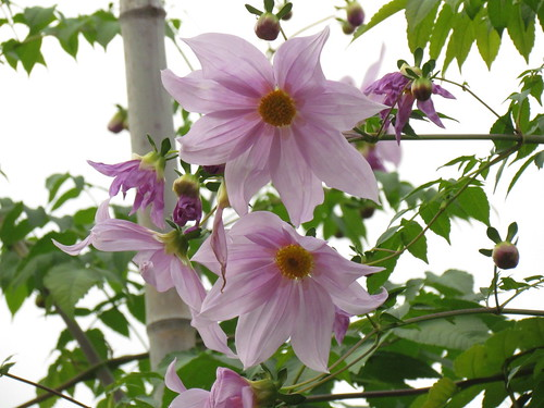 Dahlia imperialis Roezl. ex Ortgies in Koishikawa Botanical Gardens | by walking.biking.japan