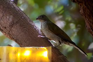 Spotted Honeyguide (24) | by nomadbirder