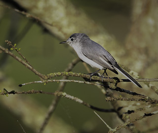 Bluegrey Gnatcatcher