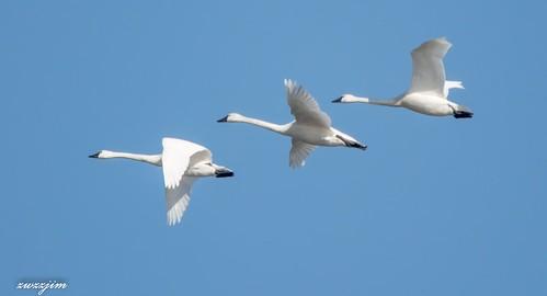 Bird Swan middle Creek 68