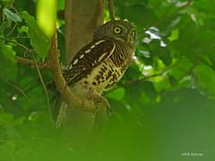Etchécopar's Owlet Glaucidium [capense] etchecopari