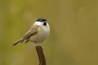 Marsh Tit | by *John Caswell *