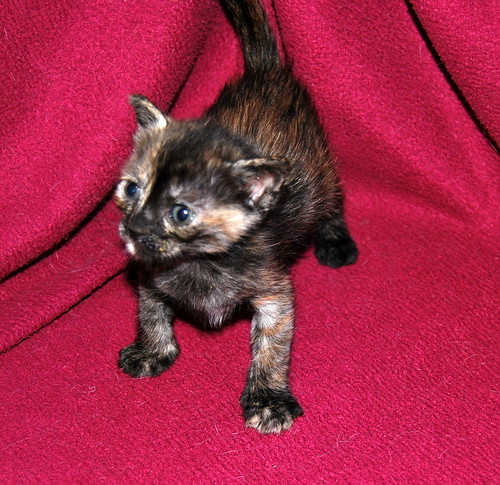 Narubi, gatita carey de cara bicolor amorosa esterilizada, nacida en Marzo´19, en adopción. Valencia RESERVADA. 40633437123_b892ce6358
