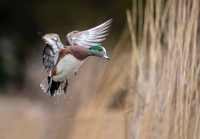 Widgeon Wings...