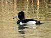 Ring-necked Duck by davidhampton1066