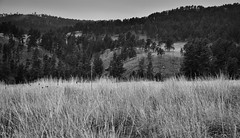 Prairie of Tall Grasses with a Hillside Backdrop (Black & White, Wind Cave National Park)