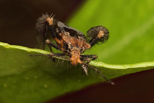 Ptilocnemus sp.