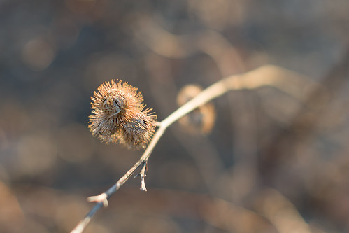 thistle blur dof depthoffield spring sunrise bokeh plant sun morning
