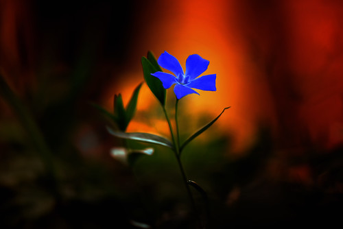 small blue flower against an orange glow of sunset