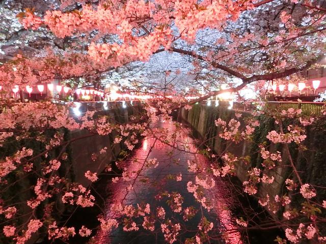 sakura at nakameguro