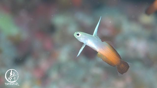 透明感がたまらん、ハタタテハゼ幼魚ちゃん♪