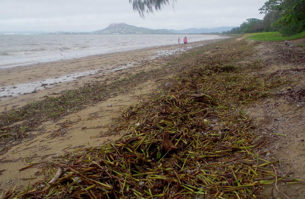 Eichhornia crassipes, Pallarenda Beach, Townsville, QLD, 05/02/19