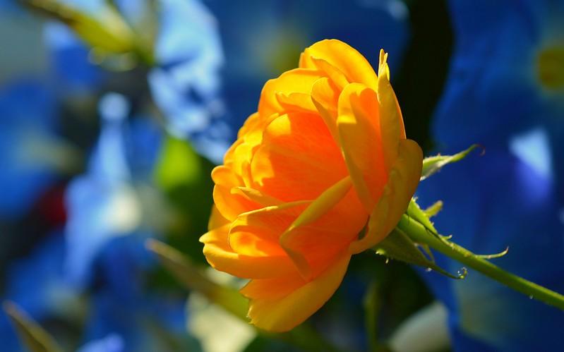 Обои Цветок, Flower, Боке, Boke, Yellow rose, Жёлтая роза картинки на рабочий стол, раздел цветы - скачать