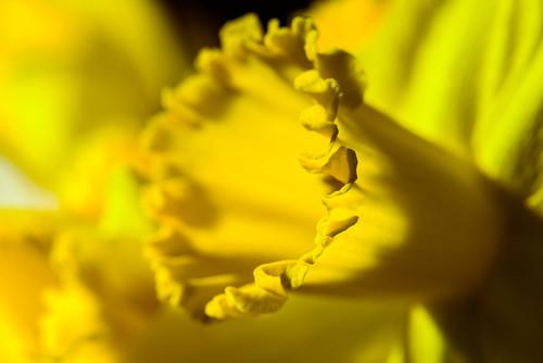 daffodil flowers folds yellow