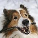 The irresistibility of a collie smile by ~ Liberty Images