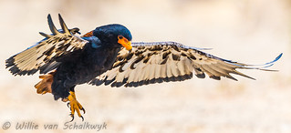 Sub-adult Bateleur coming in for the landing | by Willievs