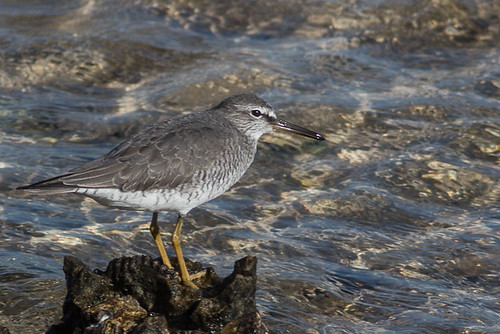 Grey-tailed Tattler | by steve happ