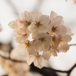 桜_2/ Sakura
