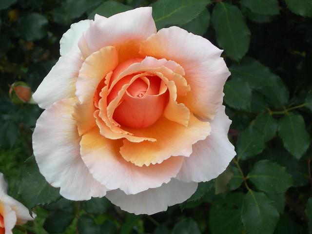 White and Peach Rose